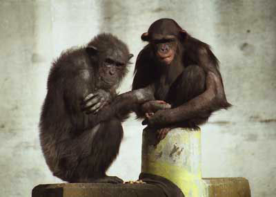 チンパンジーの画像 p1_19