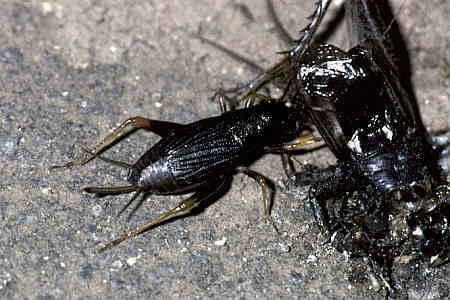 鈴虫 コオロギ