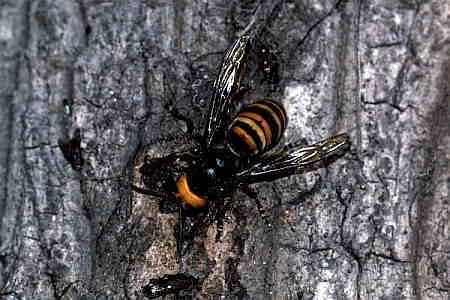 スズメバチ上科_スズメバチ科_スズメバチ亜科_Vespa コガタスズメバチ 小型雀蜂 (スズメバ