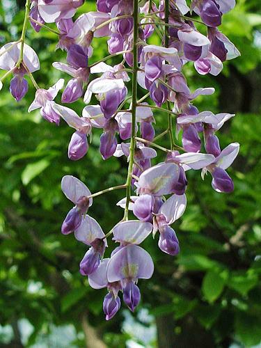 フジ (植物)の画像 p1_26