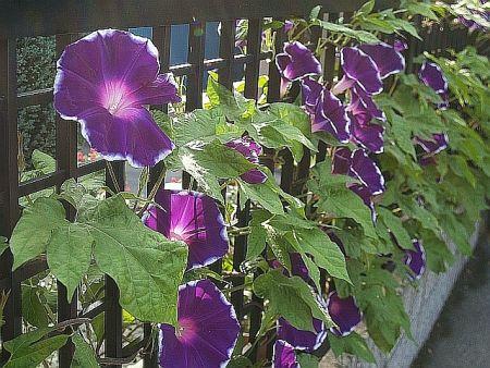 尾瀬の花と朝顔