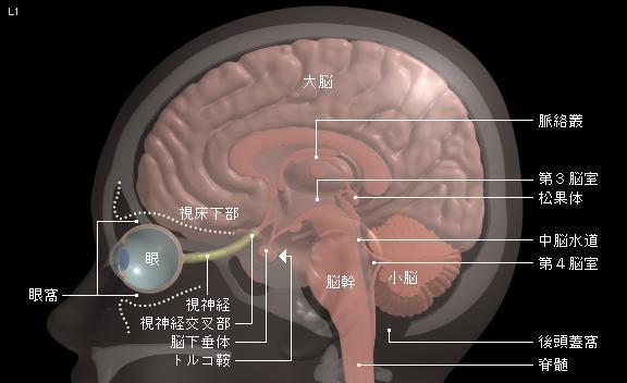 脳 下 垂体 後葉