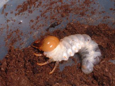 幼虫 ヒラタクワガタ